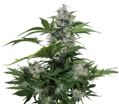 Buddha Seeds White Dwarf Auto Feminised Seeds