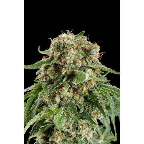 Dinafem White Siberian Feminised Seeds