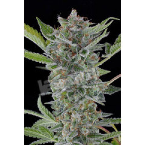 Dinafem White Widow Automatic Feminised Seeds