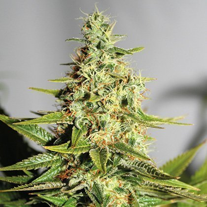 Barney's Farm Acapulco Gold Feminised Seeds