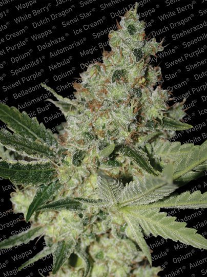 Paradise Seeds Acid feminised