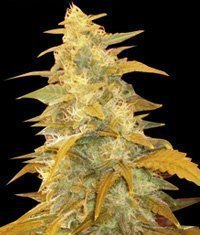 World of Seeds Afghan Kush Feminised Seeds