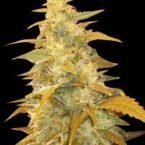 World of Seeds Afghan Kush Regular Seeds