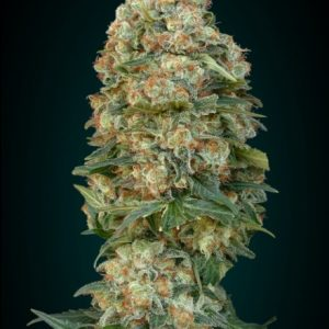 Advanced Seeds Afghan Skunk Feminised seeds