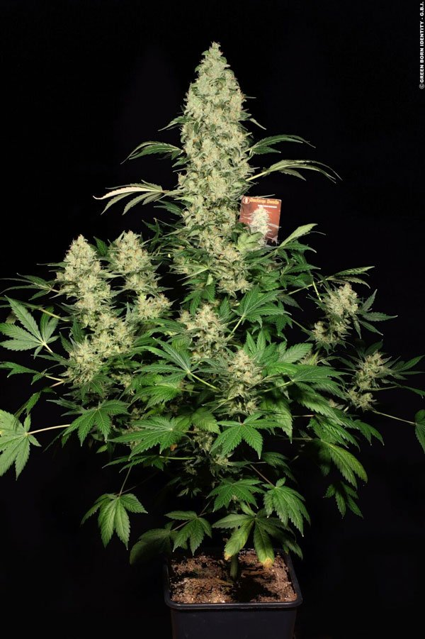 Serious Seeds Ak47 regular seeds