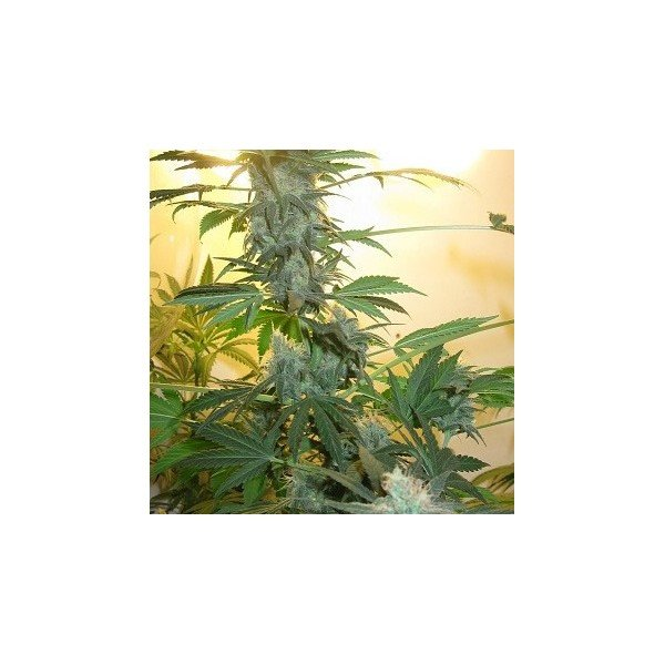 Nirvana Seeds AK48 Feminised Seeds