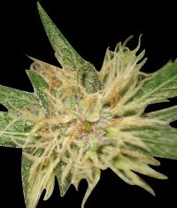 World of Seeds Amnesia Feminised Seeds