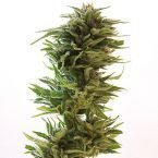 Barney's Farm Amnesia Lemon Feminised Seeds