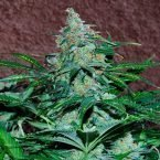 World of Seeds Amnesia Autoflowering Feminised Seeds