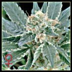 Greenhouse Seed Co. A.M.S. Feminised Seeds