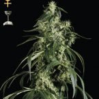 Greenhouse Seed Co. Arjan's Haze #1 Feminised Seeds
