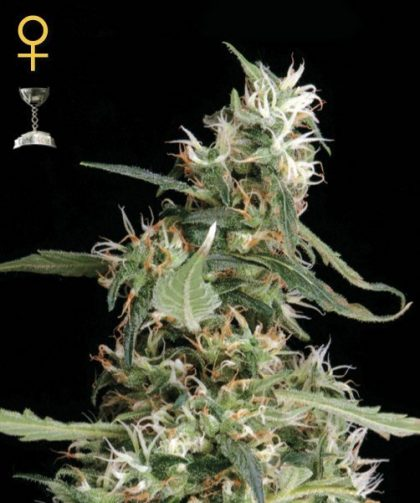 Greenhouse Seed Co. Arjan's Ultra Haze #1 Feminised Seeds