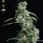 Greenhouse Seed Co. Arjan's Ultra Haze #2 Feminised Seeds