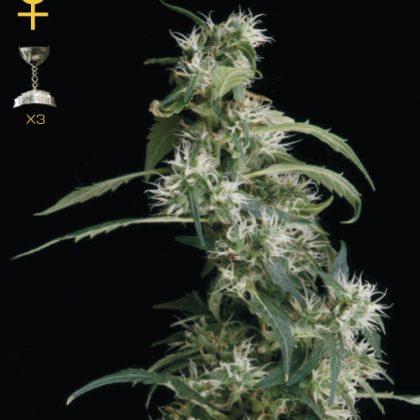Greenhouse Seed Co. Arjan's Ultra Haze #2 Feminised Seeds