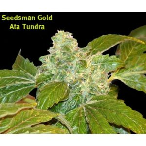 Seedsman Ata Tundra Regular Seeds