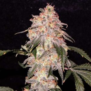 Nirvana Seeds Aurora Indica Regular Seeds