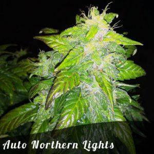 Bulk Seeds Auto Northern Lights female seeds