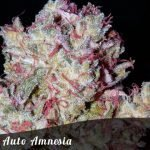 Auto Amnesia female seeds