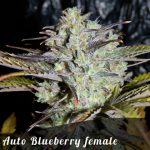 Free Auto Blueberry female seeds x 1
