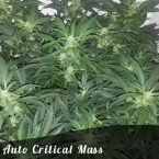 Bulk Seeds Auto Critical Mass female seeds