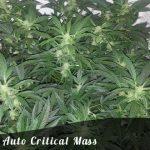 Auto Critical Mass female seeds