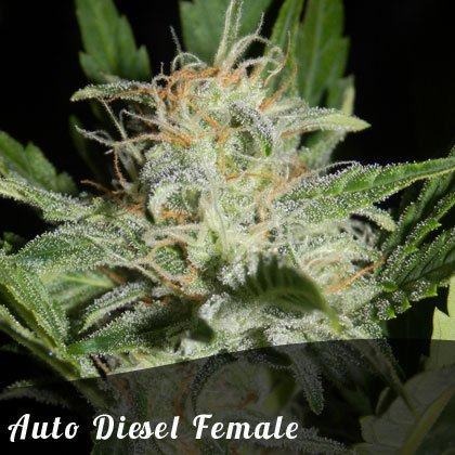 Bulk Seeds Auto Diesel female seeds