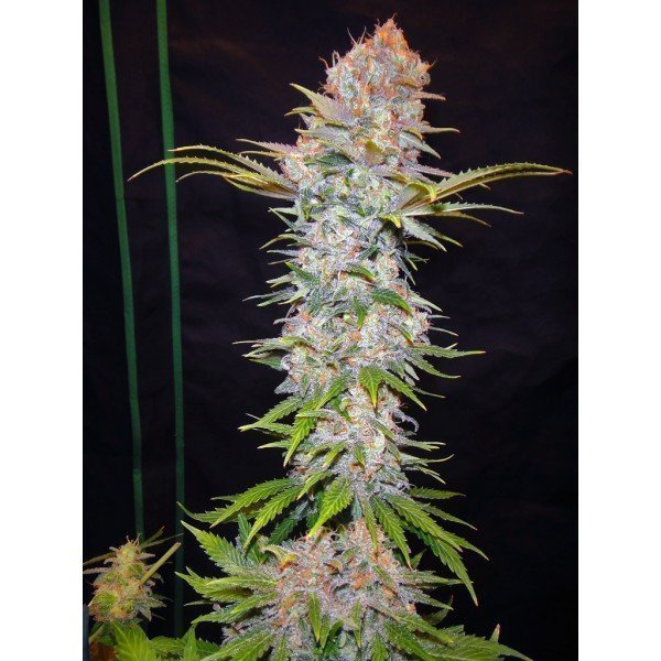 Nirvana Seeds Auto Jock Horror Feminised Seeds