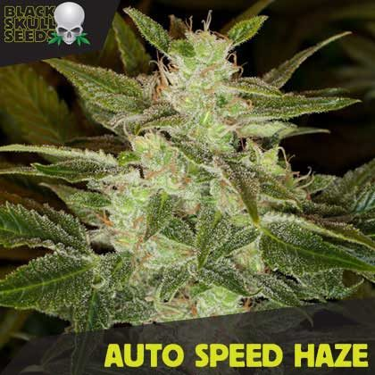 AUTO SPEED HAZE FEMALE