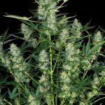 Auto White Russian female seeds