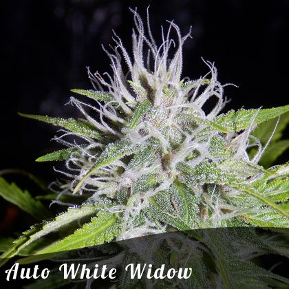 Bulk Seeds Auto White Widow female seeds