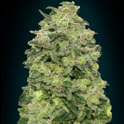 Advanced Seeds Auto Afghan Skunk Feminised seeds