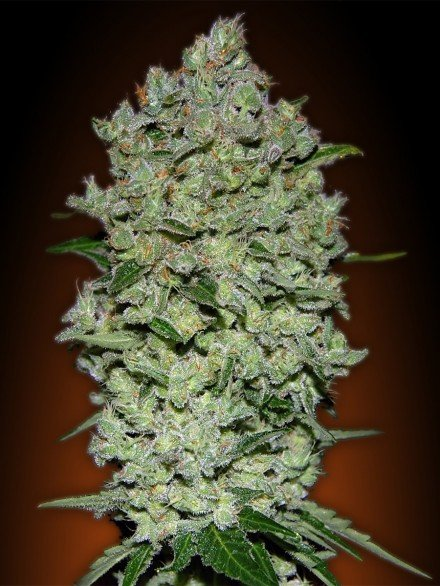 Advanced Seeds Auto Biodiesel Mass Feminised seeds