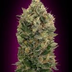 Auto Black Diesel Feminised seeds