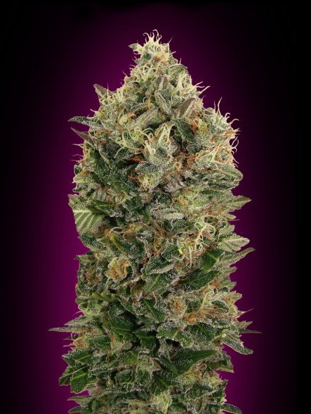 Advanced Seeds Auto Black Diesel Feminised seeds