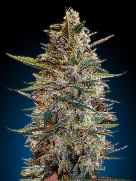 Advanced Seeds Auto Blue Diesel Feminised seeds