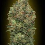 Advanced Seeds Auto Critical Soma Feminised seeds