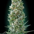 Advanced Seeds Auto Heavy Bud Feminised seeds