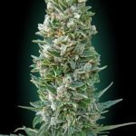 Auto Heavy Bud Feminised seeds
