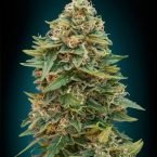 Advanced Seeds Auto Skunk 47 Feminised seeds