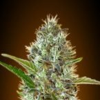 Advanced Seeds Auto Somango Feminised seeds