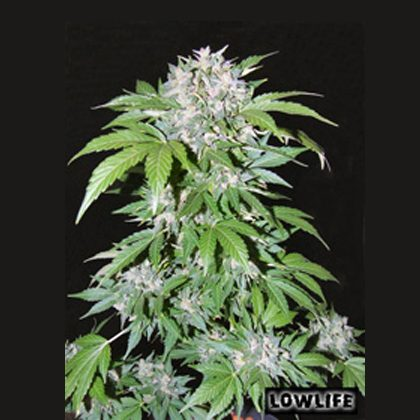 Lowlife seeds Auto Ak47 Regular