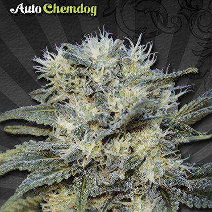 Auto Seeds Auto Chemdog