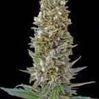 Advanced Seeds Automatic Mix Feminised seeds