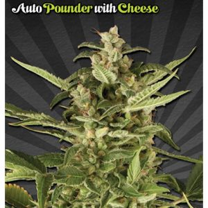 Auto Seeds Auto Pounder With Cheese