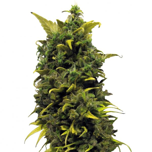 Barney's Farm Blue Cheese Feminised Seeds