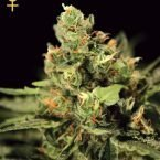 Greenhouse Seed Co. Big Bang Auto-flowering Feminised Seeds