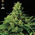 Greenhouse Seed Co. Big Bang feminised Seeds