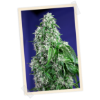 Sweet Seeds Big Devil FAST Version Feminised Seeds