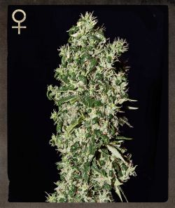 Strain Hunters Big Tooth Feminised Seeds