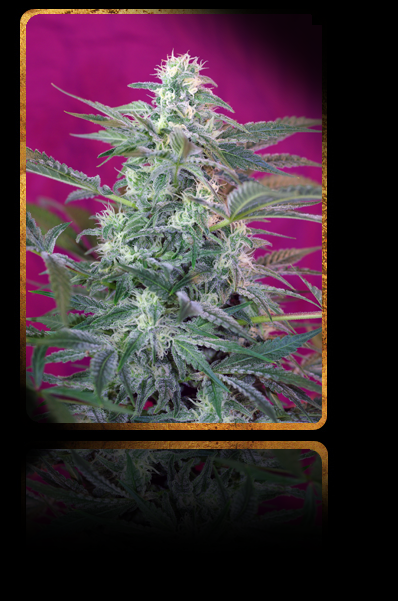 Sweet Seeds Big Foot Feminised Seeds
